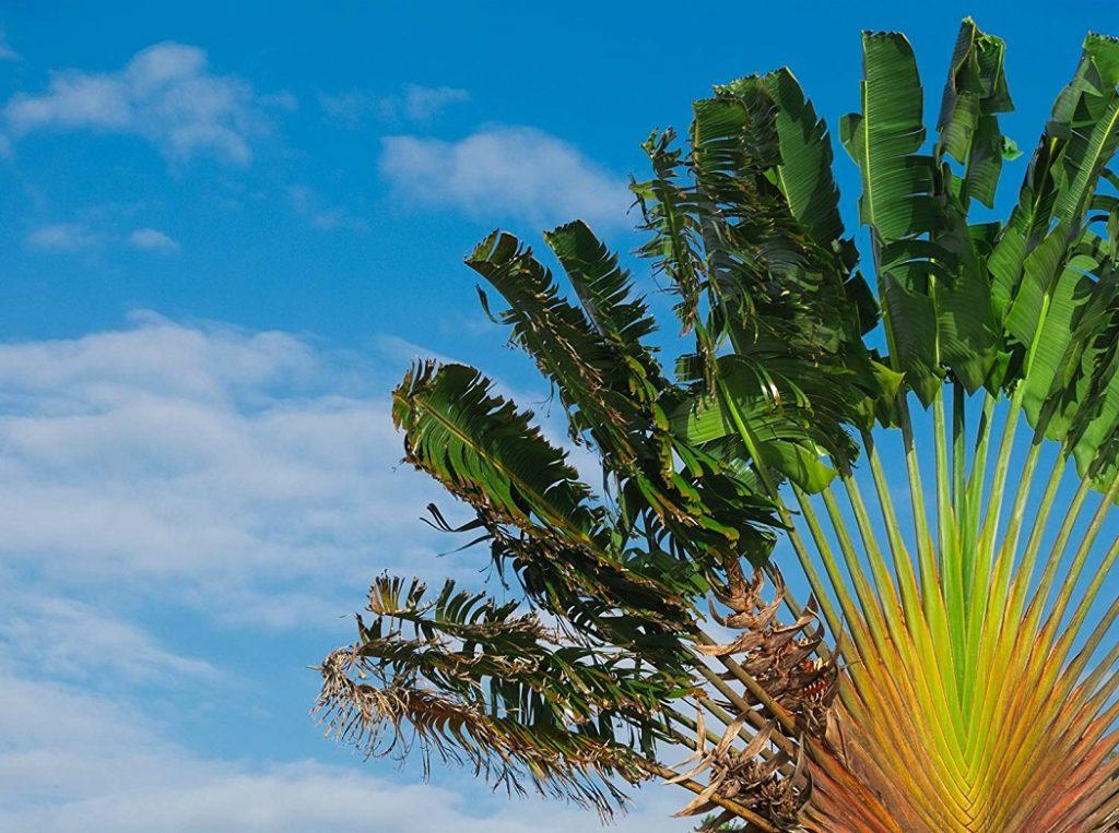 Plantas resistente ao sol - ravenala